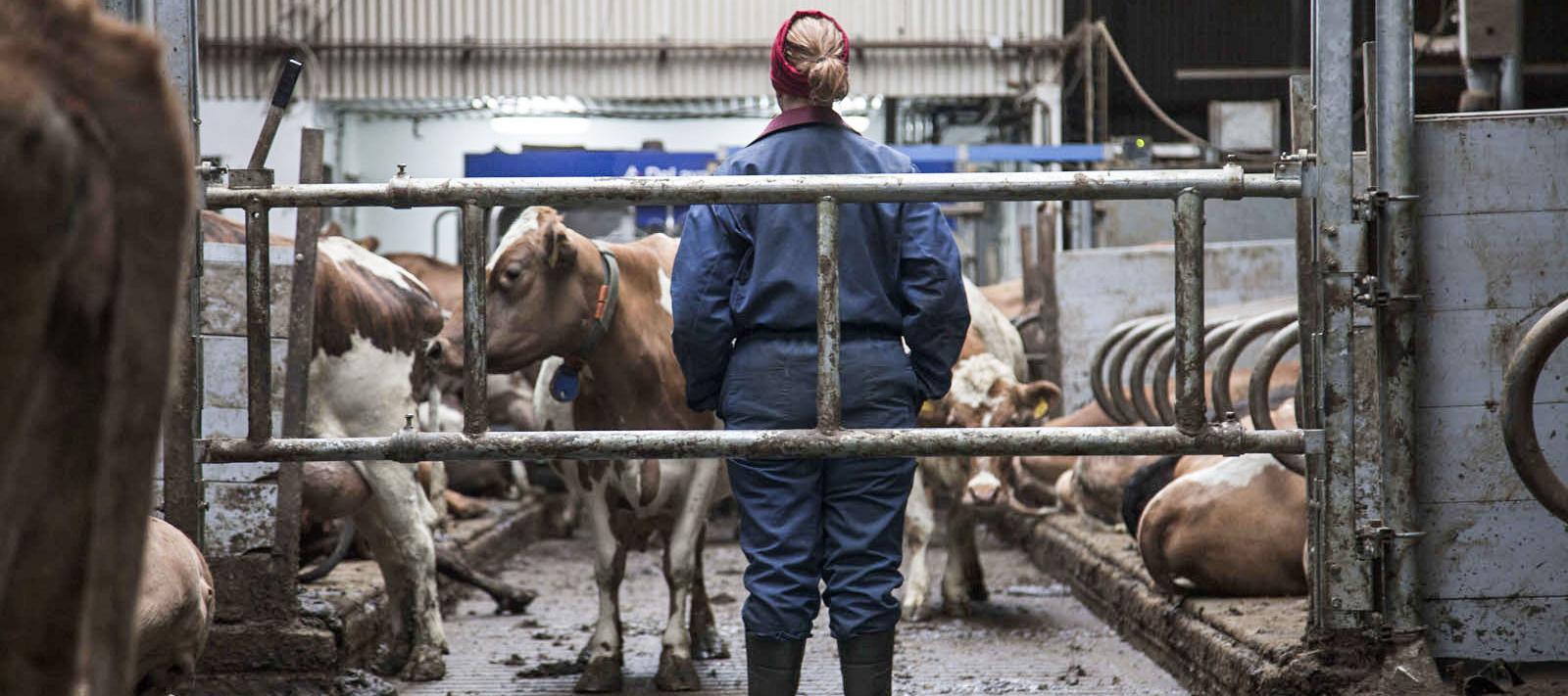 Film-Tipp: Milchkrieg in Dalsmynni