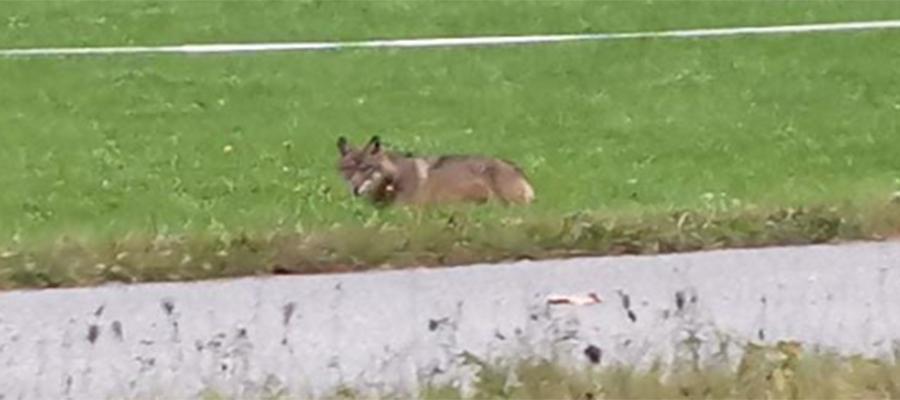 Wolf im Chiemgau: große Sorge bei den Tierhaltern