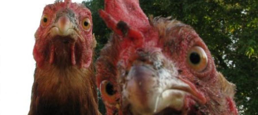 Landkreis: Veterinäramt warnt vor Geflügelpest