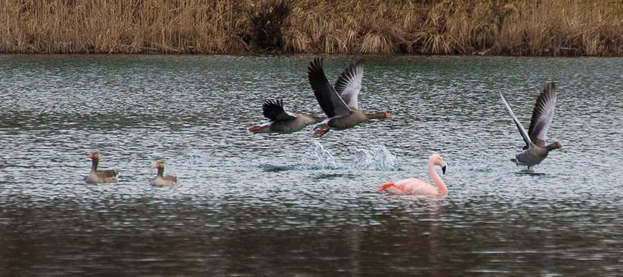 Flamingo Gerti in Schechen gesichtet